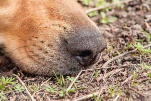 sniffing_dog's_nose_in_the_ground_close-up
