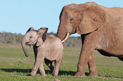 African_elephant_mother_prodding_it's_baby_to_move_on