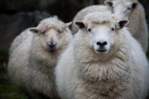 Funktionstextilien können viel, aber Wolle vom Merinoschaf hält gut mit.
